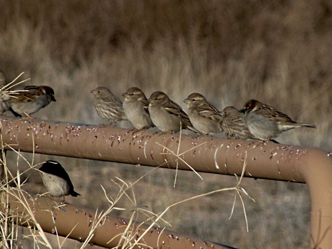 bunch_of_sparrows_by_sonafoitova-d72stt3